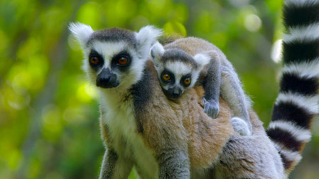Lemurs of Anja Mountain