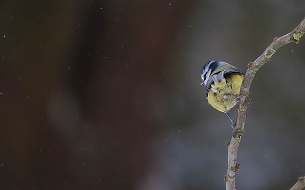 Blue tit snow.jpg