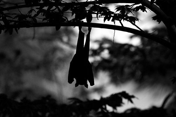 Maldives Bat.jpg