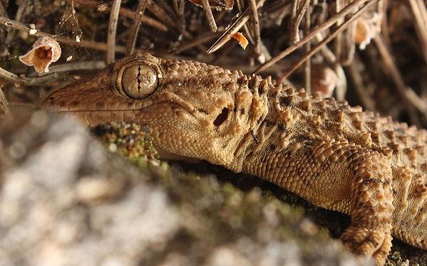 Moorish gecko (Zack Porter).jpg