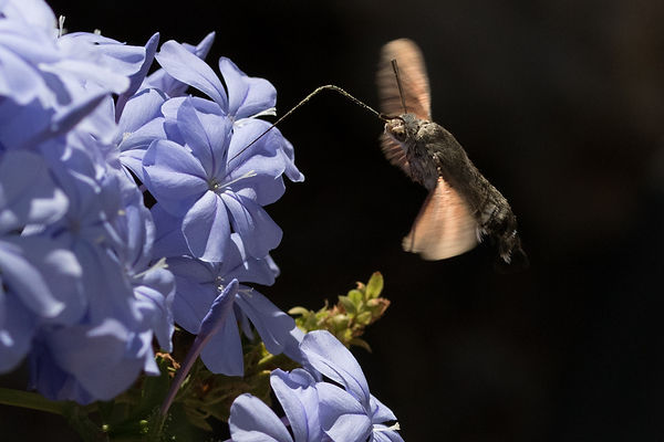 Hummingbird hawkmoth 6.jpg