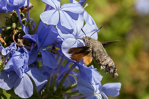 Hummingbird hawkmoth 7.jpg