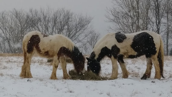 Gypsy horses snow, Gypsy Vanners, Lee LaRochelle, Horses,Kentucky,Lexington,Ricmond, Ravenna, Irvine,Farm,Quality, Pedigree, GiGi, Cushti Bok, Meadowbrook GIGI, Encore, Gypsy Stallion, Blarney Stone Encore, Old Grist Mill Farm, Horses for Sale