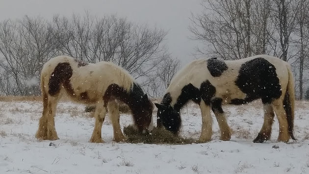 Gypsy horses snow, Gypsy Vanners, Lee LaRochelle, Horses,Kentucky,Lexington,Ricmond, Ravenna, Irvine,Farm,Quality, Pedigree, GiGi, Cushti Bok, Meadowbrook GIGI, Encore, Gypsy Stallion, Blarney Stone Encore, Old Grist Mill Farm, Horses for Sale