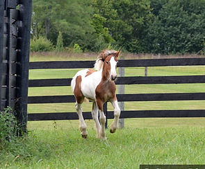 Five Paddocks Holly, Chewbacca, Bob the Blagdon, the lob eared horse, Lee Larochelle, Kentucky Farms, Old Grist Mill Farm, Gypsy Vanner, Gypsy horses, Daniel Boone National Forest,Lexington KY, Ravenna, For Sale, feathered Horses, Top Quality