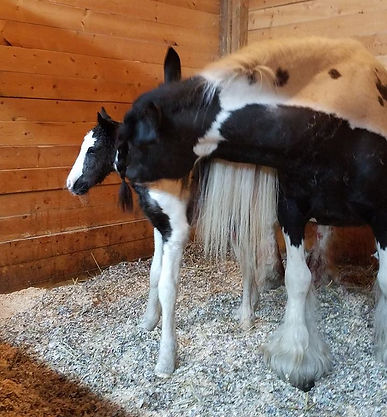 BS Encore foal, BS Encore gypsy stallion, Old Grist Mill Farm, imported horses, Lee Larochelle, Quality Gypsy Horses