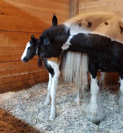 BS Encore foal, BS Encore gypsy stallion, Old Grist Mill Farm, imported horses, Lee Larochelle, Quality Gypsy Horses