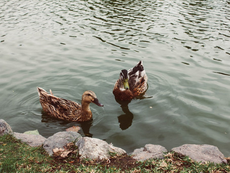 Stop Feeding Ducks Bread. Seriously.