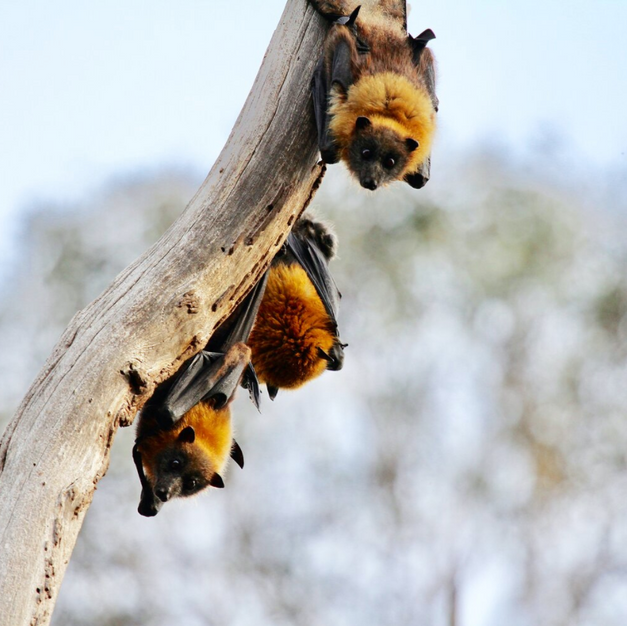 Bats and Their Fight for Survival: Hibernation and the Deadly White Nose Syndrome