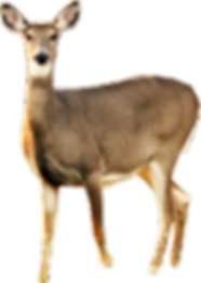 kisspng-white-tailed-deer-roe-deer-musk-