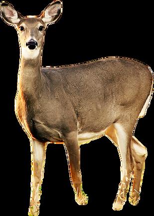 kisspng-white-tailed-deer-roe-deer-musk-