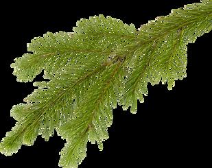 kisspng-fir-tree-branch-clip-art-fir-tre