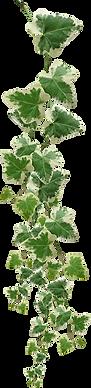 kisspng-vine-plant-clip-art-green-leaf-w