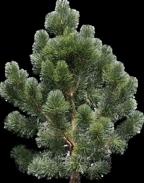 kisspng-pine-fir-tree-clip-art-5adbcca70