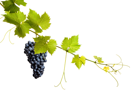 kisspng-common-grape-vine-grape-leaves-w