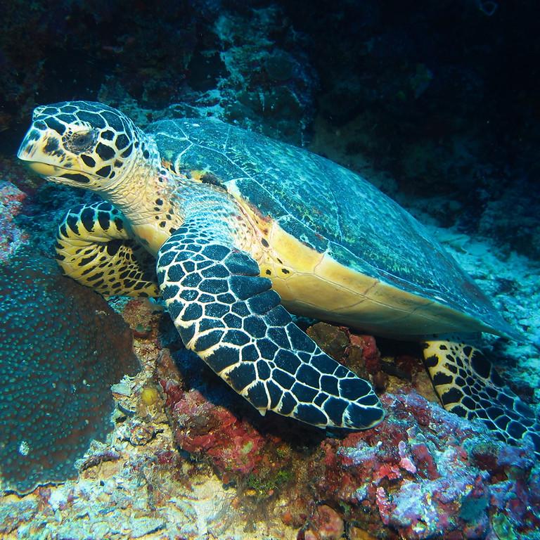 Marine Biology Webinar 4: Climate Change and Marine Turtles