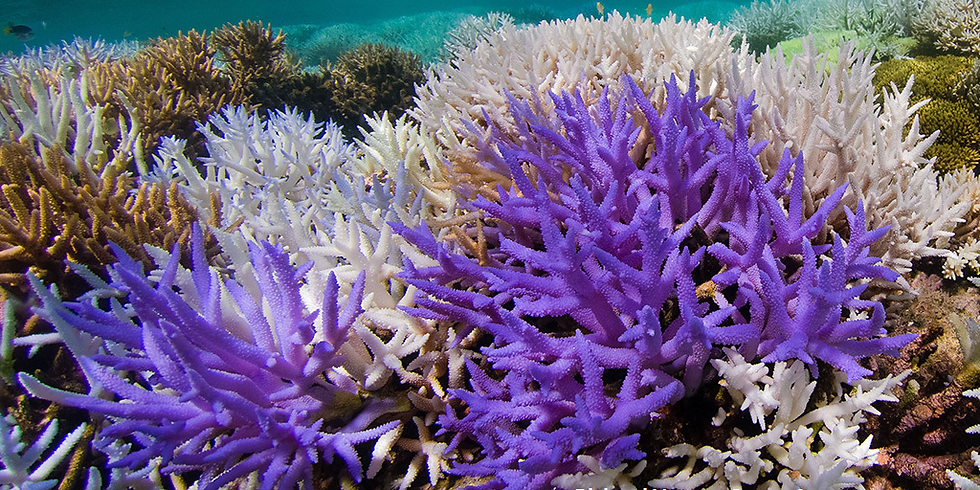 Marine Biology Webinar 3: Biofluorescence: Colors that Protect Corals from Bleaching