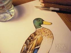 duck photo 3 - 2 logo 1