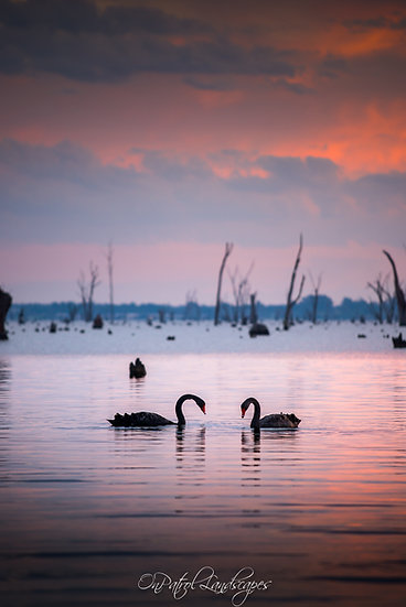 """""""Two Swans"""""""