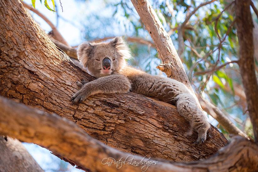 """""""Lazing Koala"""""""