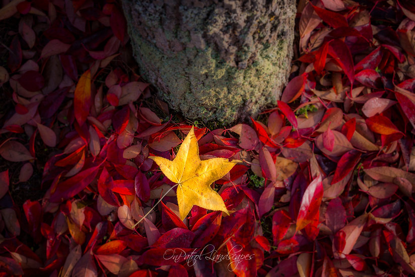 """Yellow Leaf on Red"""