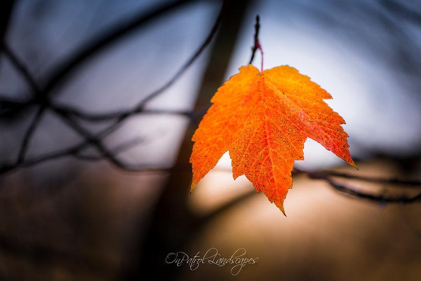 """Single Autumn Leaf"""