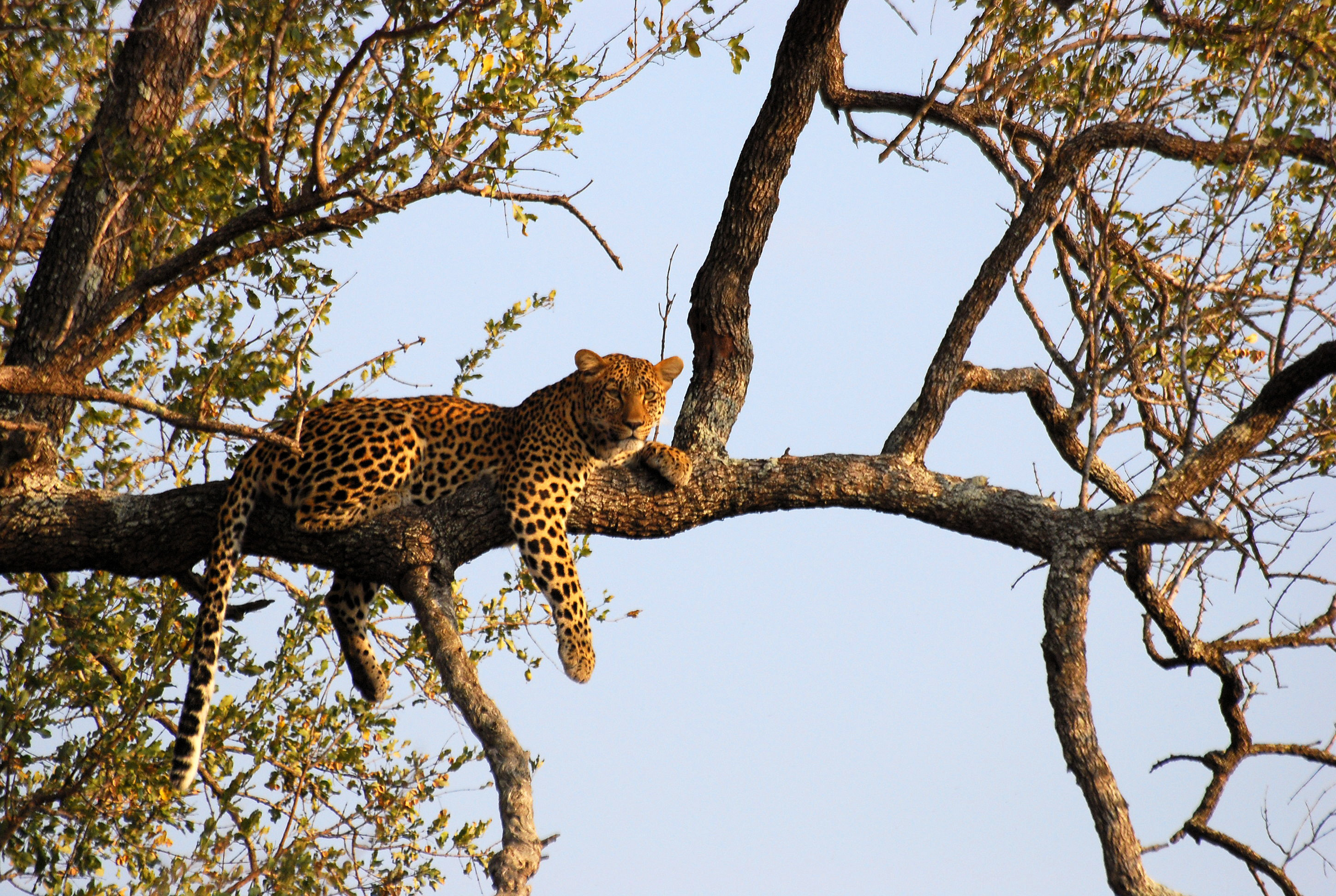 Leopard_on_tree