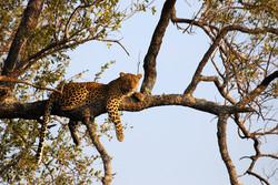 Leopard_on_tree
