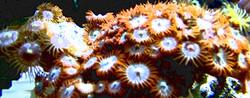 sunflowerpolyp1