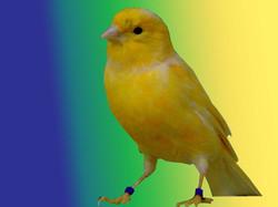 canary1