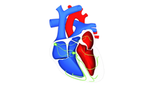 Heart and Conduction system