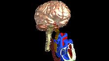 Brain and Heart, Sympathetic and Parasympathetic nervous sustem