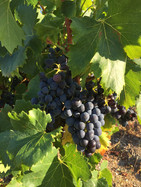 Grapes growing in Embres