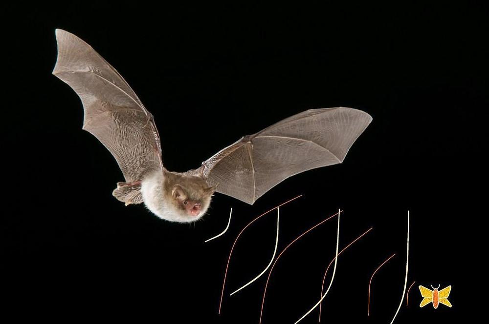 Representação da eco-localização realizada por morcegos. UFRJ Nautilus