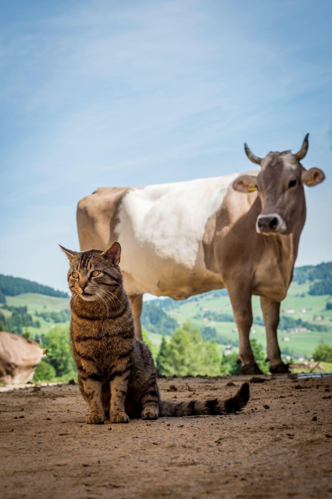 Lillybeizli_Urnäsch_Kuh & Katze