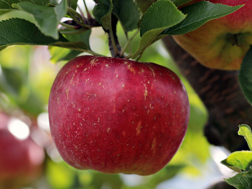 An Apple a Day May Help Keep the Doctor Away