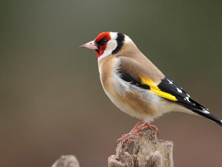 Les oiseaux d'Europe - #2 | Les Passériformes (suite)