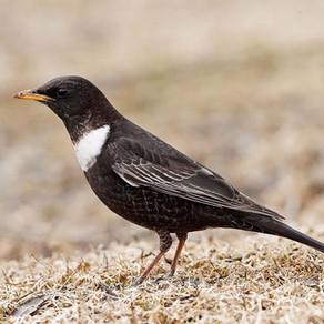 Les oiseaux d'Europe - #3 | Les Passériformes (suite)
