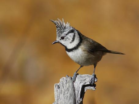 Les oiseaux d'Europe - #1 | Les Passériformes