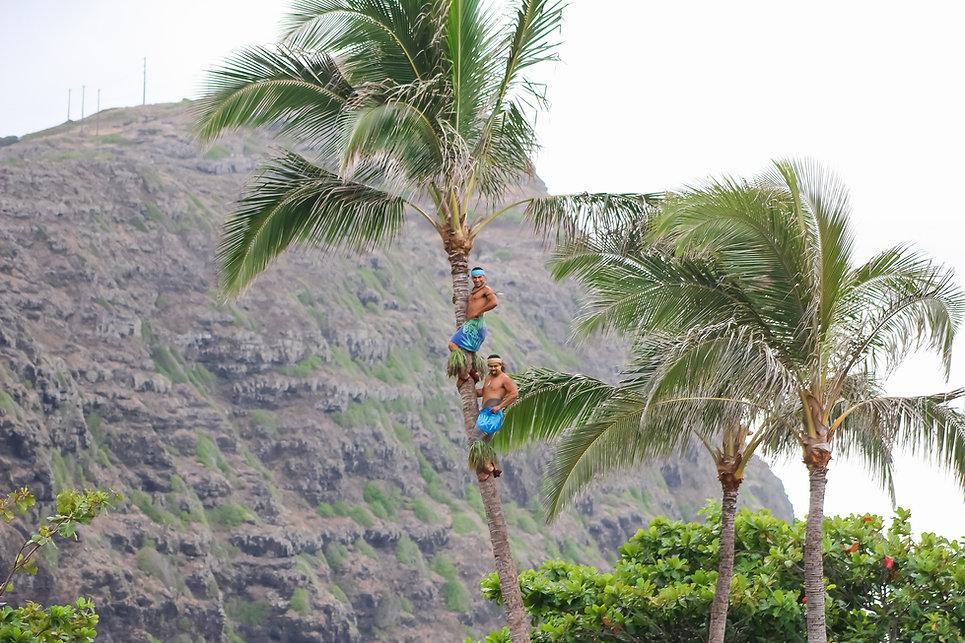 Ka Moana Luau Coconut Tree Climbing Demonstration