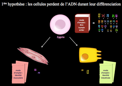 4._hypothèse_1_perte_ADN.png