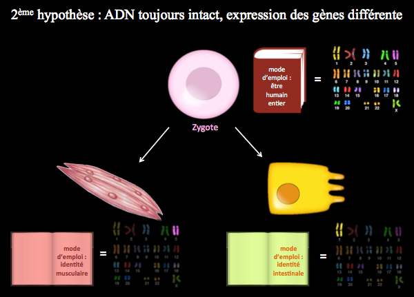 5._hypothèse_2_expression_differente.png
