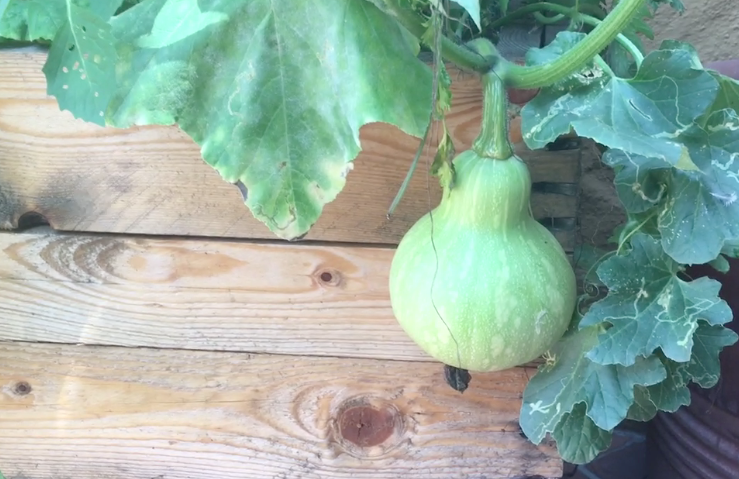 Funky looking squash