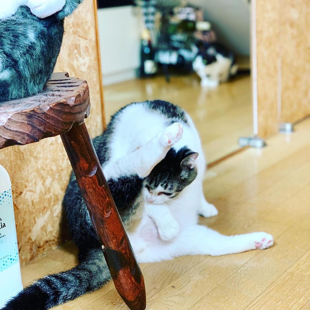 太っちょ猫「だいちゃん」4