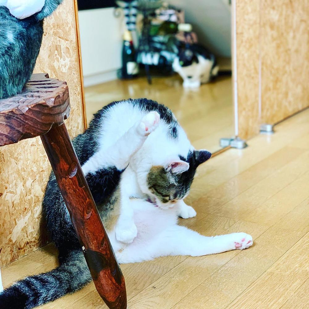 太っちょ猫「だいちゃん」3