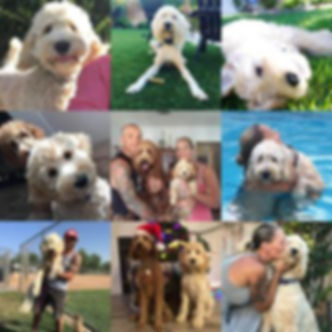 Collage of a Labradoodle (3)