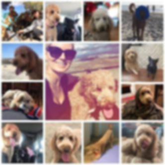 Collage of a Labradoodle (2)