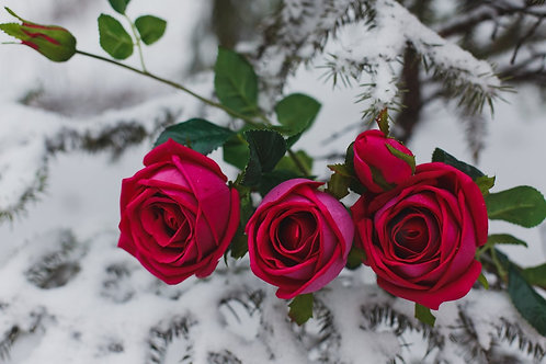 Роза Шар 3+2