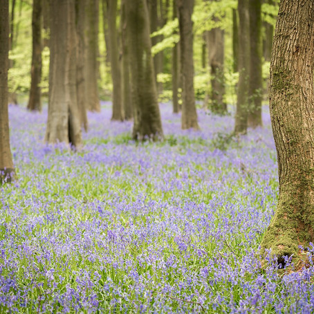 Spring Bluebells: West Woods Marlborough