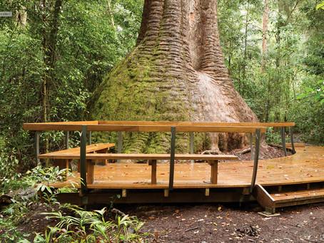 THE TALLEST TREE NEAREST PORT MACQUARIE